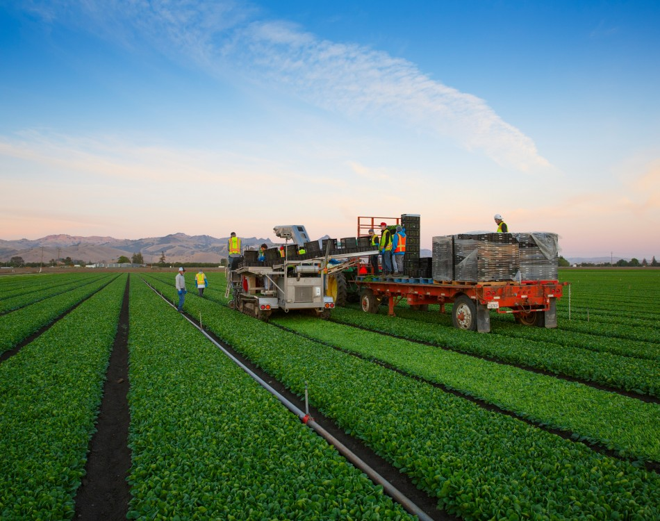 Mechanical Harvesting Spinach
